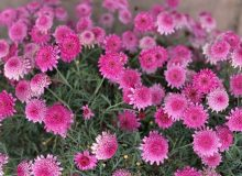 Pink_Flowers-scaled